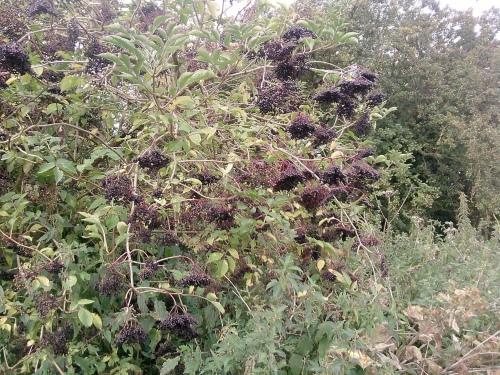 Elderberries 1